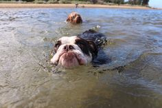 Unlike English bulldogs Australian bulldogs are known to swim   http://ift.tt/2nPIPW2 via /r/dogpictures http://ift.tt/2n3xQ7O  #lovabledogsaroundtheworld