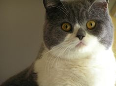 british shorthair kitty