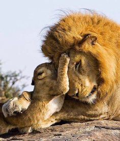 "Lions are known as some of the most ferocious animals on the planet, so a tender moment between a father and his cub captured on camera in the wilds of Africa is generating a lot of buzz. ""The lion photos have hit it quite. Nature Animals, Animals And Pets, Baby Animals, Cute Animals, Wild Animals, Wildlife Nature, Beautiful Cats, Animals Beautiful, Grand Chat"