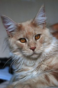 Henry 9 months old, via Flickr.    Maine Coon!!