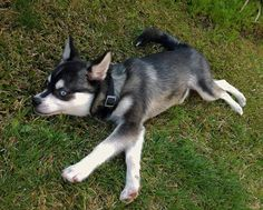 Loves rolling and running on the grass.