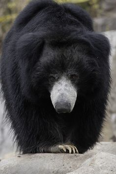 Sloth Bears live in Southeast Asia, primarily in the forest areas of Sri Lanka and India. Their populations are estimated to be between 1000 and 7000.