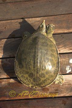 Apalone ferox, una tortuga muy especial.