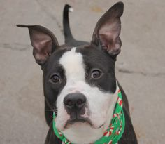 TO BE DESTROYED - 12/05/14 Brooklyn Center -P  My name is ROC. My Animal ID # is A1021814. I am a male black and white pit bull mix. The shelter thinks I am about 1 YEAR 1 MONTH old.  I came in the shelter as a STRAY on 11/28/2014 from NY 11693, owner surrender reason stated was STRAY.