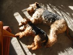 Welsh Terrier And Airedale Terrier - think I need a Welsh Terrier for Sophie to have a minime. :)