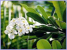Frangipani, Seychelles flower