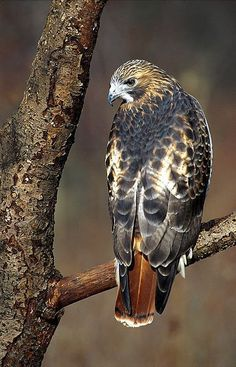 B~Red-tailed Hawk (Buteo jamaicensis)Genus: Buteo is a bird of prey that breeds throughout most of North America Kinds Of Birds, All Birds, Little Birds, Birds Of Prey, Pretty Birds, Beautiful Birds, Animals Beautiful, Exotic Birds, Colorful Birds