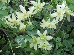 Buy clematis (group 1) Clematis 'Fragrant Oberon ('Hutbron') (PBR)': Delivery by Crocus