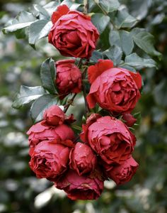 Red roses | The Teddington Gardener