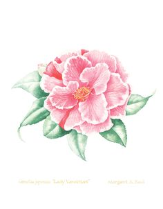 Camellia japonica Lady Vanstatt watercolor painting and open edition print