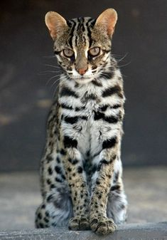 Consider, that Asian leopards for sale not right