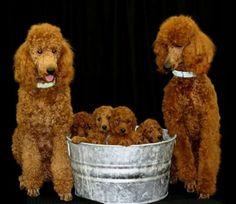 Poodles in tubs