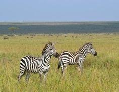 La zebra - le zebre