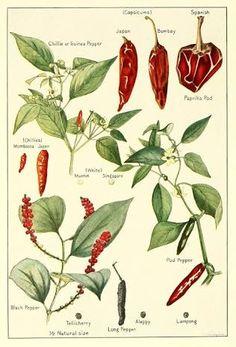 Image result for le nereides chilli