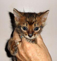 Toyger Kitten