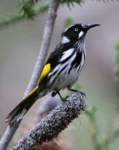 New Holland Honeyeater (Phylidonyris novaehollandiae). A passerine bird of southern Australia. photo: Greg Miles.