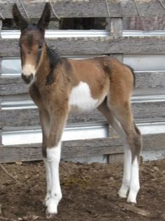 Dixie Foaled - Baby Mule #2 - With Chrome! - Horsetopia Forum