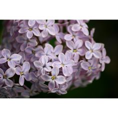 Lilacs Close Up ❤ liked on Polyvore featuring backgrounds