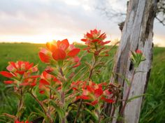 Indian Paintbrush, another Texas wildflower Desert Flowers, Wild Flowers, Life Is Beautiful, Beautiful Flowers, Indian Paintbrush, Quiet Storm, Closer To Nature, Cool Plants, Love Is Sweet