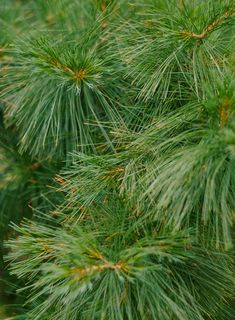 A rapid-growing, long-lived needled evergreen tree, the Eastern white pine, offers long, soft, blue-green needles and is adaptable to a range of conditions. It's native to areas of North America and makes an excellent choice for wildlife gardens. #trees #besttrees #conifers #landscaping #landscapingdesign #bhg