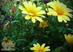 Color Magic: Yellow   #daisies