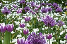 Spring Combination Ideas, Bulb Combinations, Plant Combinations, Flowerbeds Ideas, Spring Borders, Tulip Arabian Mystery, Allium Purple Sensation, Daffodil Thalia, Tulipa Arabian Mystery, Narcissus Thalia