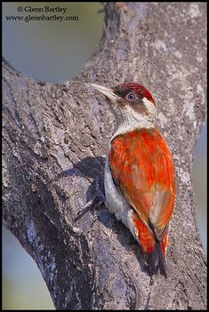 Scarlet-backed Woodpecker(Veniliornis callonotus). Distribution; Colombia, Ecuador &  Peru