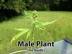 Male cannabis plant (does NOT grow buds) - most growers throw away male plants on site