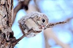 There's a good chance your followers have never seen a Japanese dwarf flying squirrel.  Retweet to change that.