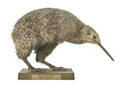 Apteryx owenii Gould, 1847, little spotted kiwi, New Zealand,