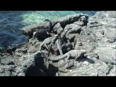 Videos of Iguanas of the Galapagos Islands
