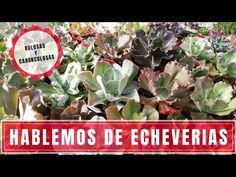 Hablemos de Echeverias rulosas - YouTube