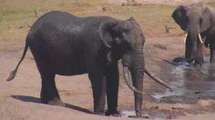 Elephants at Tembe - Oct 6 2016 - Wildlife, African, Elephants, Animals, Beautiful, Animales, Animaux, Animal, Animais