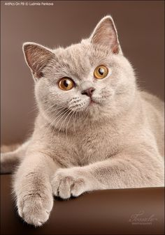 Cats, Colors and British shorthair on Pinterest