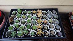Buy Succulents Online, Sprouts, Vegetables, Food, Essen, Vegetable Recipes, Meals, Yemek, Veggies
