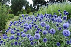 Globe thistle is a fabulous, weirdly scultural plant that we don't see a lot of. Check out that steel blue color! Echinops ritro - globe thistle