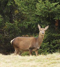 Stelvio National Park - A deer  http://lombardiaparchi.proedi.it/parco-nazionale-dello-stelvio-2/?lang=en