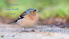 Free Image on Pixabay - Chaffinch, Finch, Bird, Nature Birds Name List, Names Of Birds, Cute Birds, Small Birds, Colorful Birds, Pic Épeiche, Best Pet Birds, Forest Sounds, Chaffinch