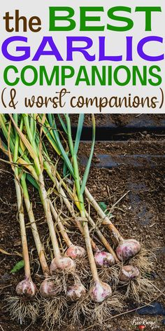Companion planting is a great way to help your vegetable garden grow better. It can help reduce pests, save time, and save space. Here are the best companion plants for garlic, plus what crops should not be planted near or with garlic