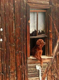 """* * Irish Setter:  """" To go out and explore or stay inside; that is the question of the day."""""""