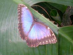 Twitter / veenasix: The biggest butterfly I've ...