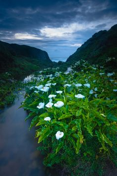 Serenity Now - Blue hour shot of wild Calla Lilies in Doud Creek, Big Sur, northern California.