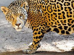 the world's big cats are slowly becoming extinct in the wild.  get involved!