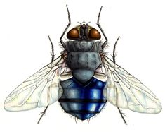 Lizzie Harper natural history illustration blue bottle fly with halter Medical Illustration, Botanical Illustration, Watercolor Illustration, Watercolour, Fly Drawing, Paper Animals, Insect Art, Blue Bottle, Natural History
