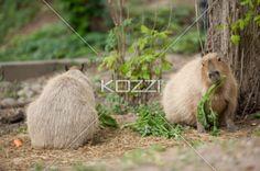 capybara enjoying meal - Capybara munching on stalks of carrot.