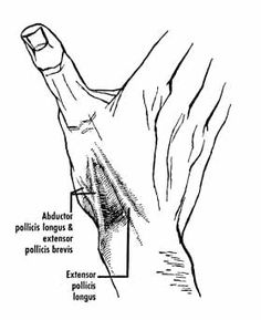 the anatomical snuff box the radial artery lies on the
