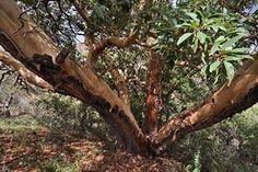 A new kind of #champion tree