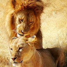 """""""The godly are as bold as lions."""" In life, adventures, and love, be brave enough to let yourself go. Happy weekend! Photographer: @a_millimaci Location: Africa (Serengeti) #safari #animallover #travelblogger #adventures #outdoor #wildlifephotography #african #lions #explorer #thedailymotto #opportunity #togetherness #couples #bigcats #aw #animales #earthpix #two #soulmates #artistic #wildandfree #wilderness #fierce #sweetie #closeup #animalkingdom #lovenature #instaclick #travels #bold"""