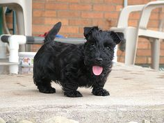 """Adorable Scottish Terrier puppy. I have wanted one of these little guys for as long as I can remember. I would name him Banquo! Or Macduff, just to teach him a trick to go along with, """"Lay on, Macduff!"""" #barreviewbabyanimals"""
