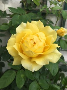 683 best yellow flowers my favorite images on pinterest in 2018 rose images rose of sharon yellow fever love rose yellow roses rose bouquet garden planters dream garden flowers garden mightylinksfo